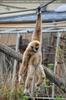 Gibbons 03