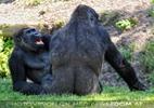 Gorilla Bai 04