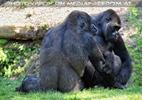 Gorilla Bai 05