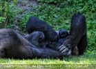 Gorilla Bai 06