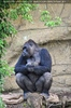 Gorilla Bai 1
