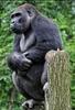 Gorilla Bai 2