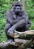 Gorilla Bai 4