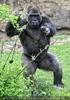 Gorilla Drohung
