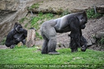 Gorilla Frieden