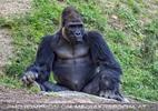 Gorilla Mann