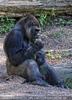 Gorilla mustert Gras
