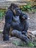 Gorilla Patriarch