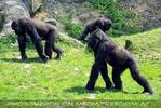 Gorilla Wanderung