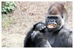 Gorilla zeigt Zähne