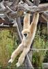 Hängender Gibbon