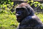 Hey Gorilla
