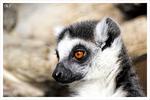 Katta (Lemuren)