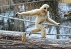 Laufender Gibbon