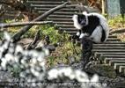 Lemuren hinterm Wasserstrahl