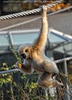 Pflückender Gibbon