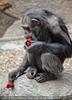 Schimpansen 05