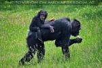 Schimpansen 06