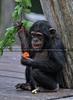 Schimpansen 11