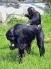 Schimpansen 13