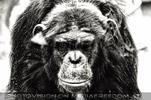 Schimpansen Blick