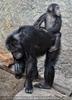Schimpansen Familie 01