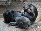 Schimpansen Familie 03