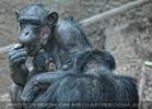 Schimpansen Familie
