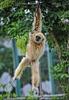 Teeny Gibbon
