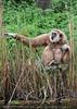 Überraschter Gibbon