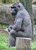 Wartender Gorilla