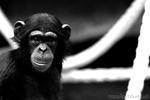 Schimpansen Baby