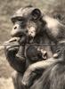 Schimpansen mit Baby