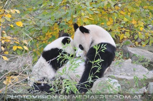 Panda Liebe: Fu Long,Yang Yang