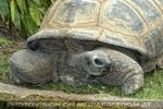 Riesenschildkröte 2