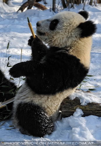 Große Panda Mahlzeit 12: Fu Hu