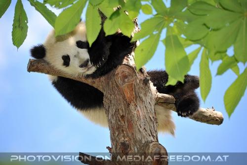 Pandababy schläft hoch oben: Fu Bao