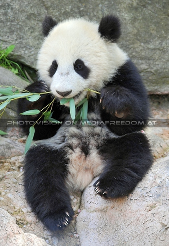 Pandababy - der Bambus strengt sooo an: Fu Bao