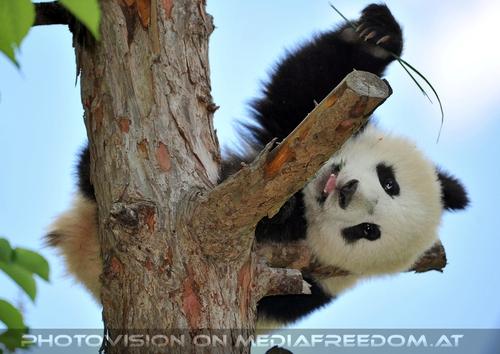 Pandababy - geht wieder schlafen: Fu Bao