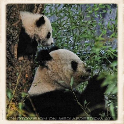 Fu Bao geht schlafen No.2: Fu Bao, Yang Yang