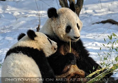 Große Panda Mahlzeit 01: Fu Hu,Yang Yang