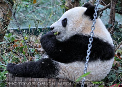 Große Pandas 10