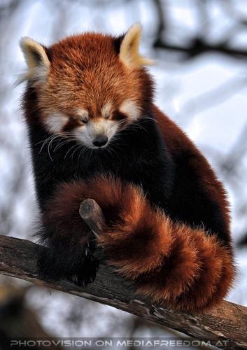 Roter Panda 5