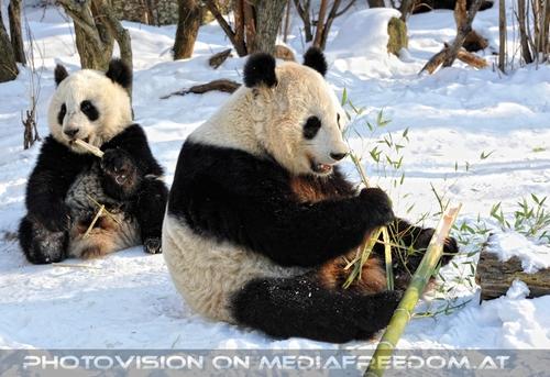 Große Panda Mahlzeit 03: Fu Hu,Yang Yang
