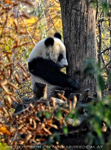 Großer Panda kettert: Fu Hu