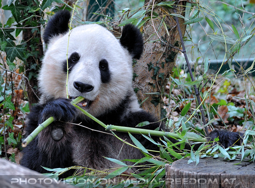 Große Pandas 03