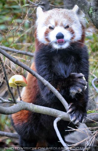 Roter Panda 08