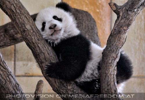 Kleiner großer Panda 11: Fu Bao