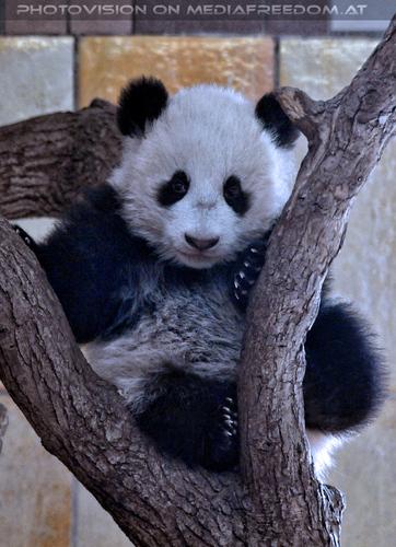 Kleiner großer Panda 15: Fu Bao