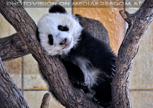 Kleiner großer Panda 21: Fu Bao
